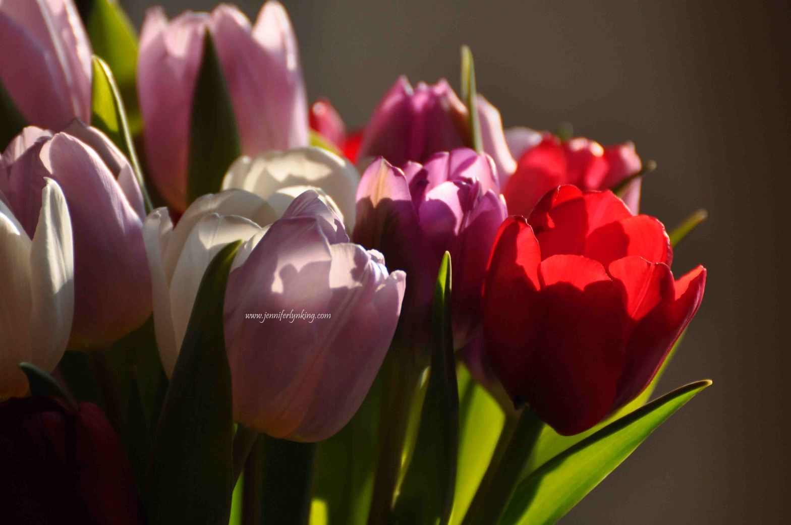 A February dash of color, tulips
