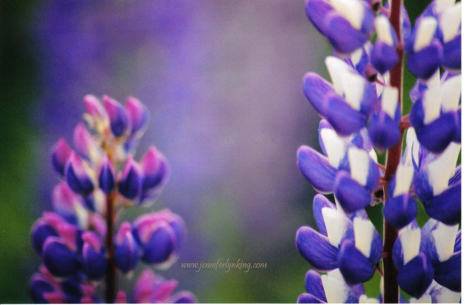 Lupine flowers: the soft colors of tranquility