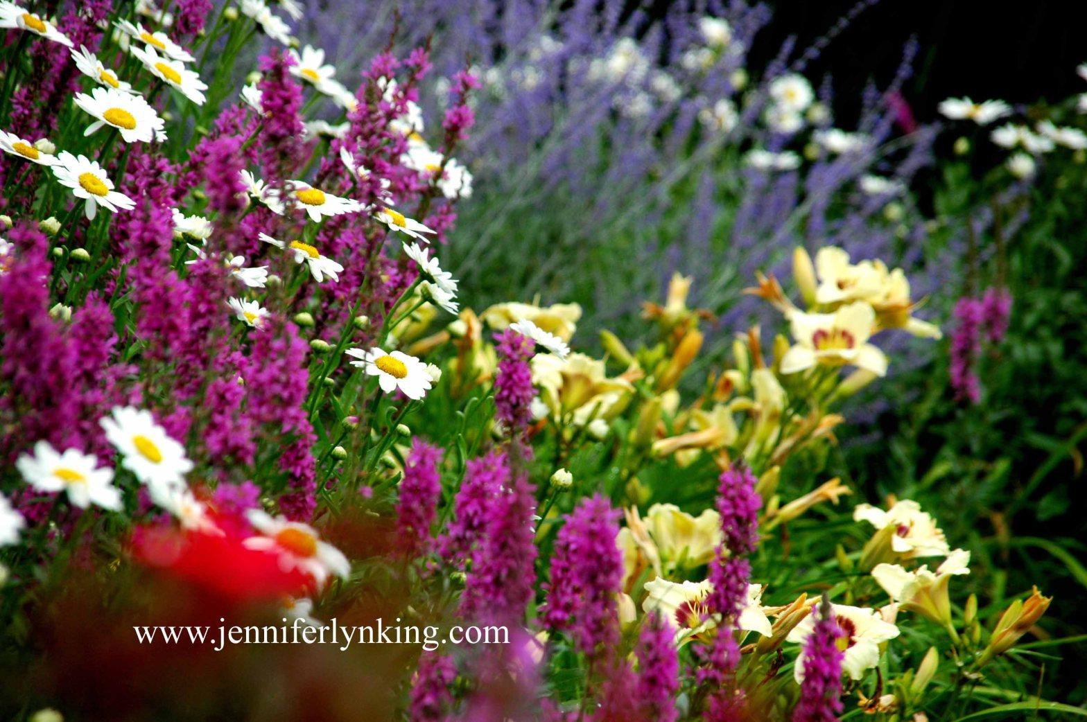 Color: Daisies, Lithrum, Russian Sage, Pandora's Box Daylilies