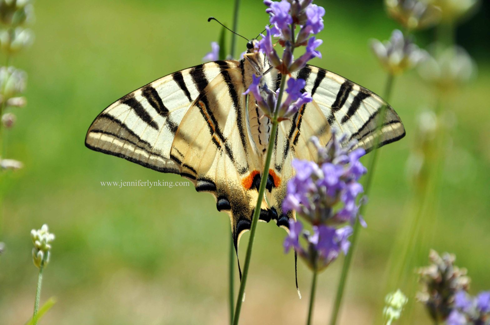 A Swallowtail, on our backyard lavender in Prague