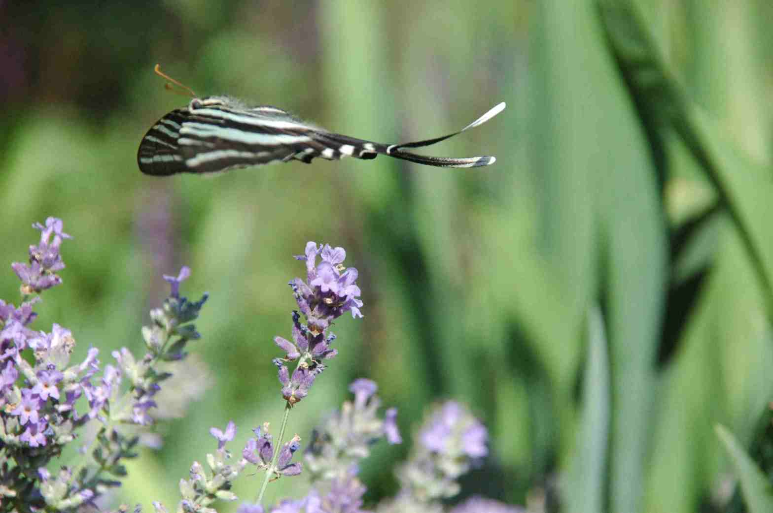Zebra Swallowtail butterfly in flight