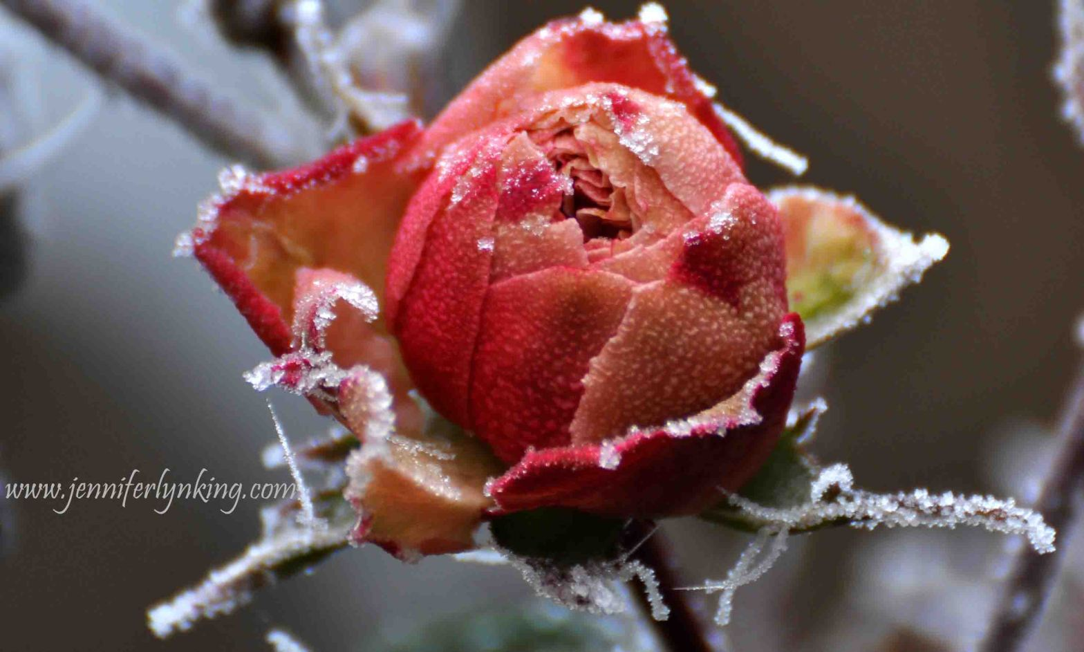 the Effects of Days of Frozen Fog on my backyard Roses in Prague