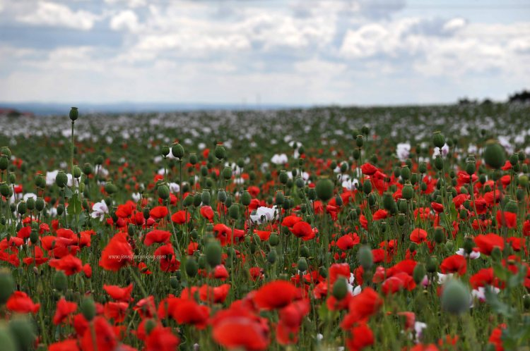 A Field of Poppies overlooking Prague