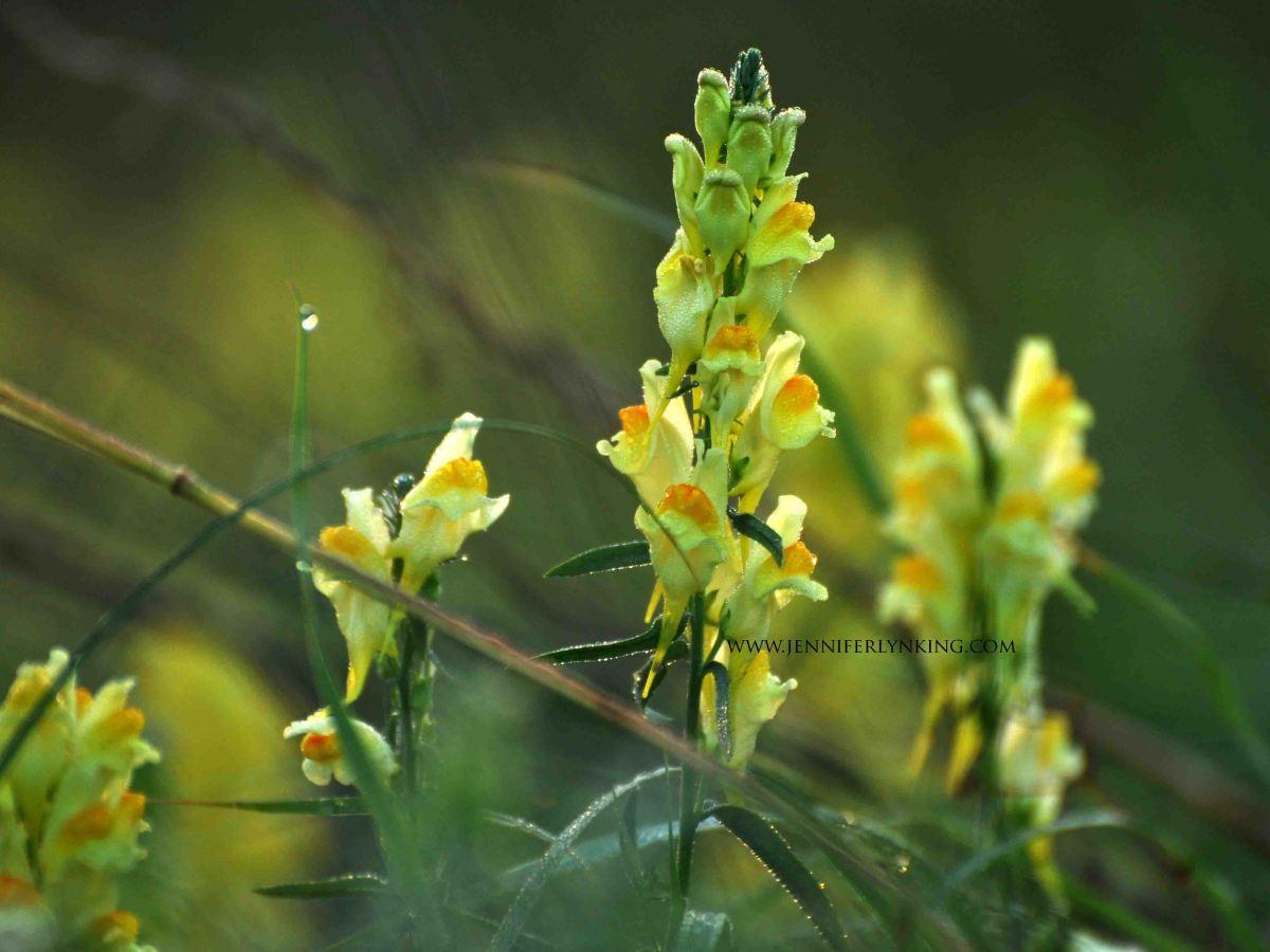 wildflowers at sunrise, maremma, italy