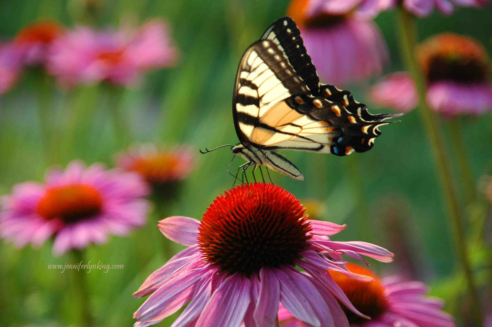 a tiger swallowtail butterfly on echinacea