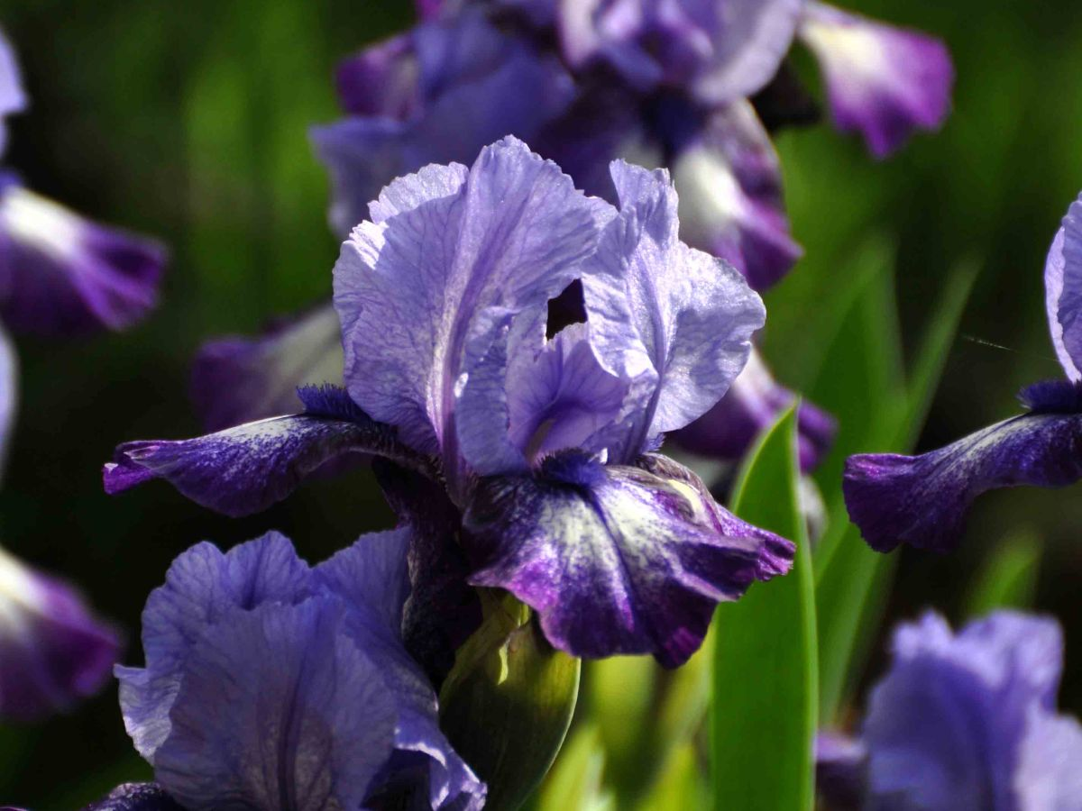 Bearded Iris: the color