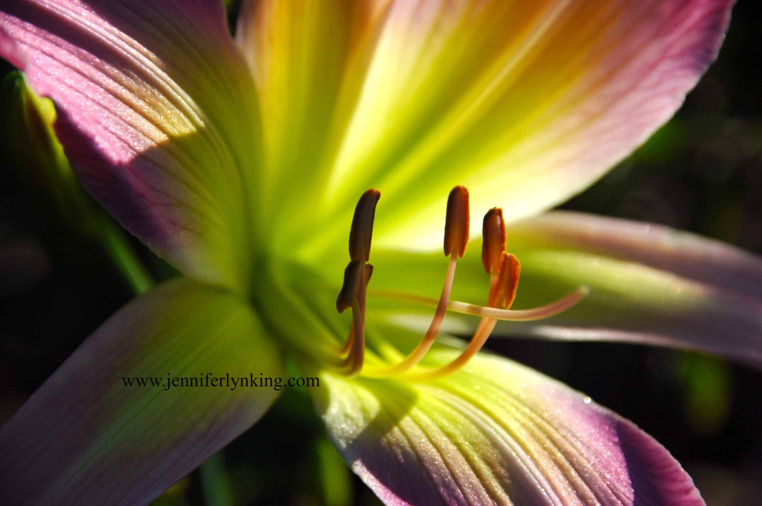 Garden daylily at first light