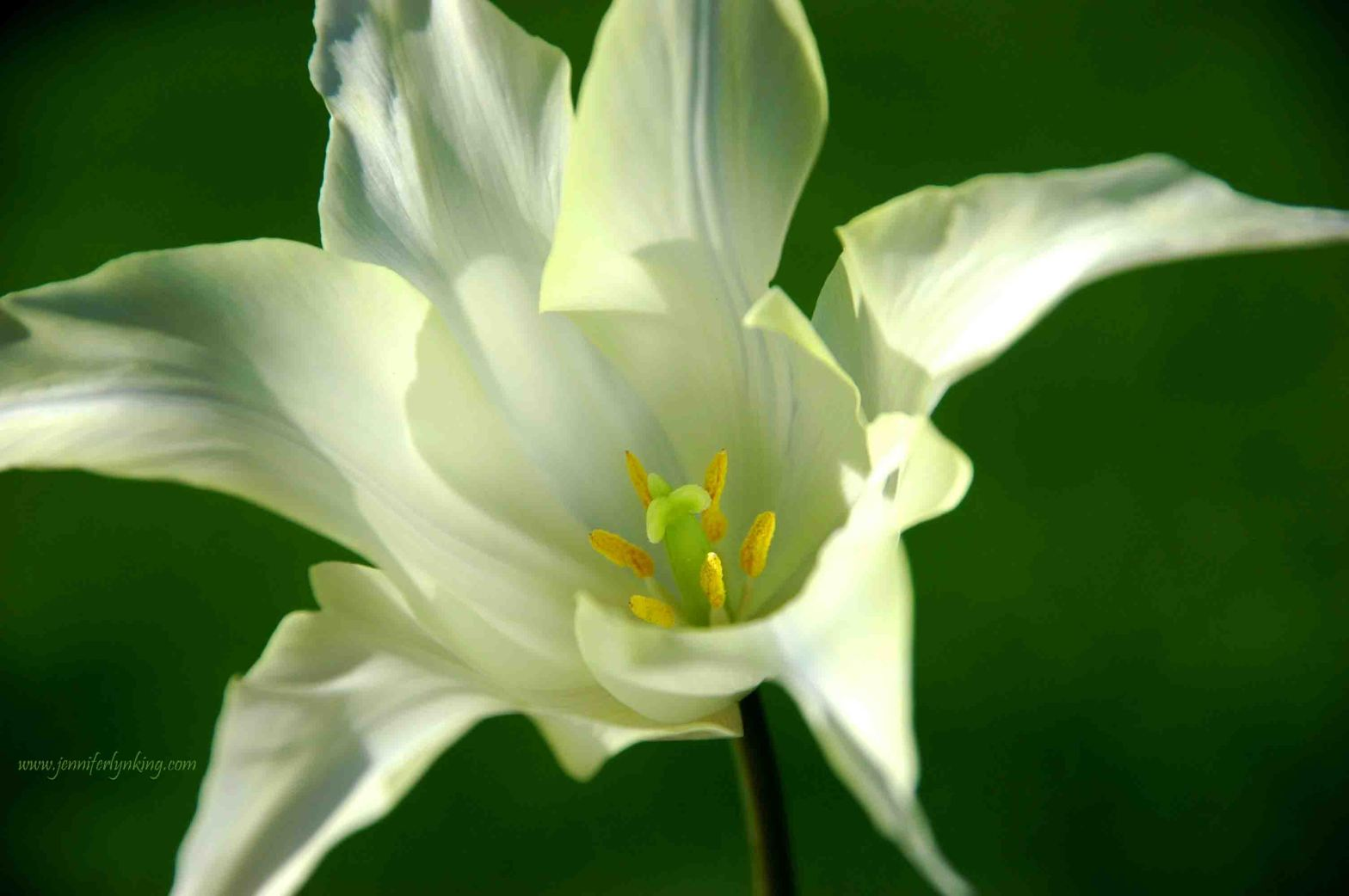 Delicate Lily-flowered Tulip