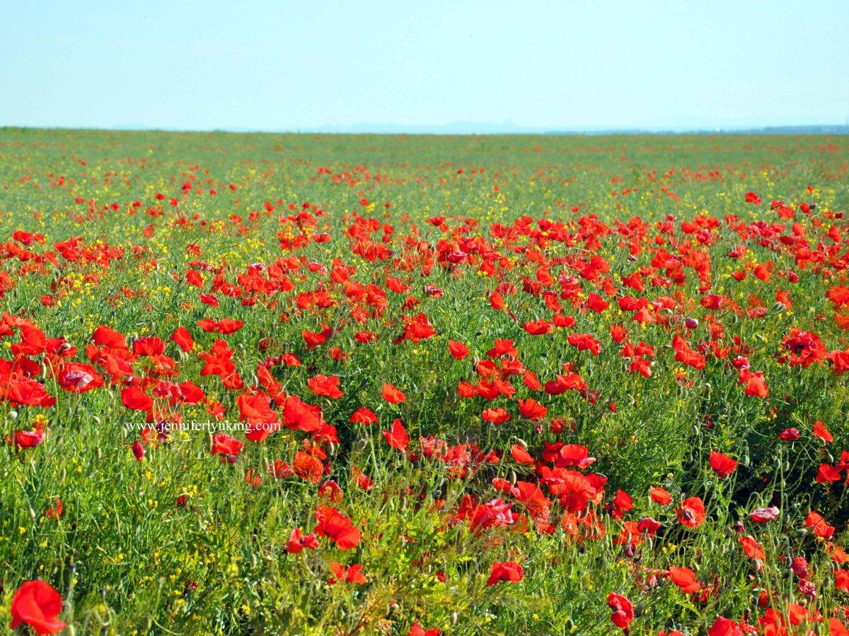 Field of Poppies, Eastern Europ