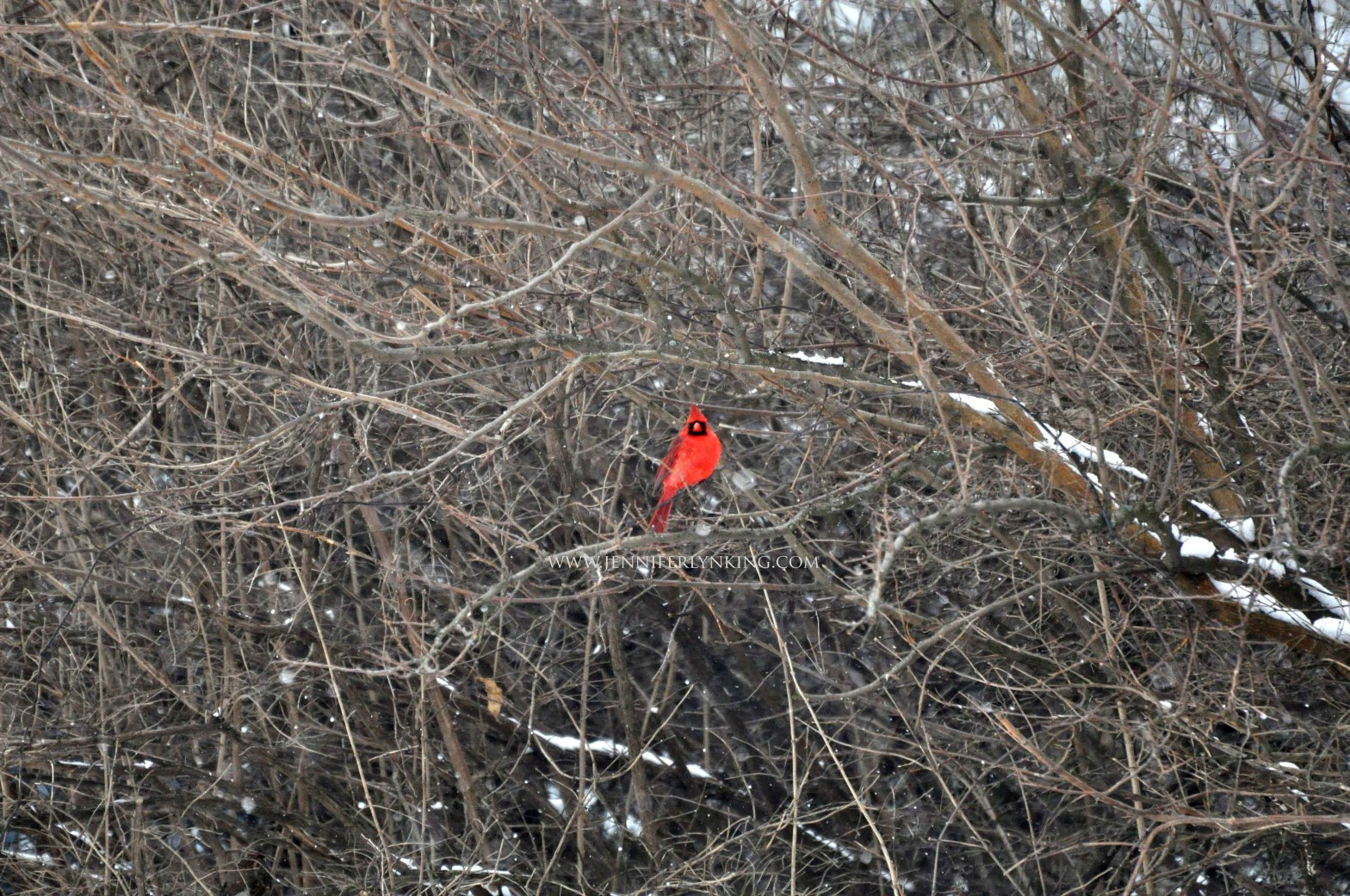 the Cardinal in the Woods