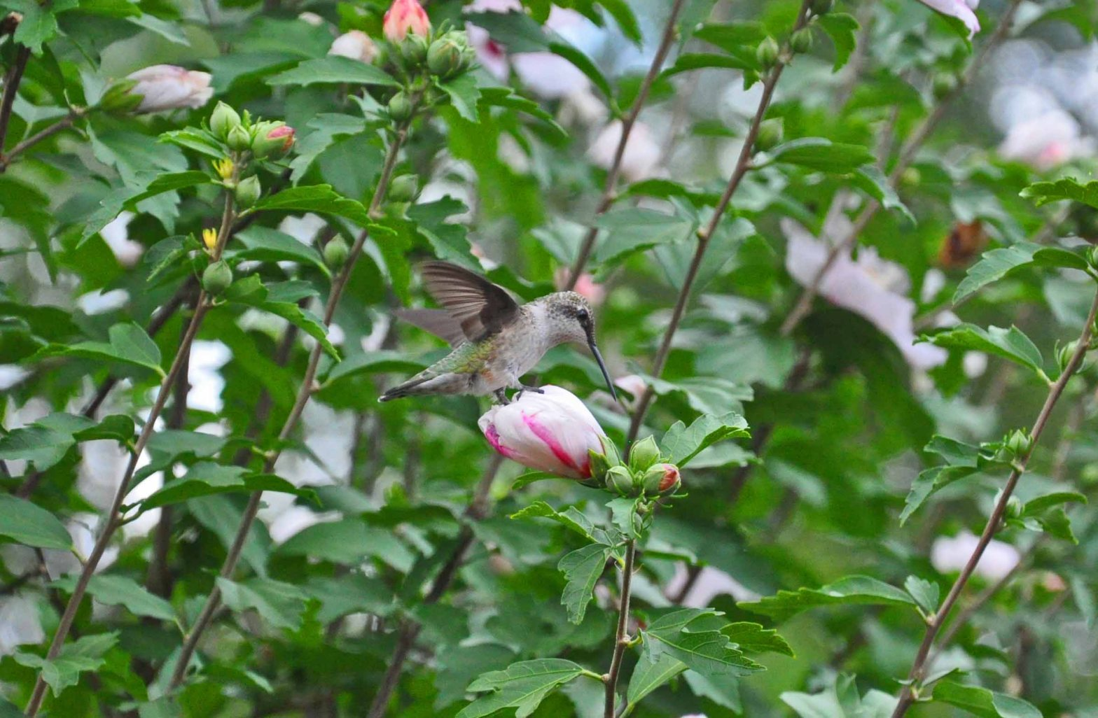 A Hummingbird in our Cincinnati yard on Moving Day