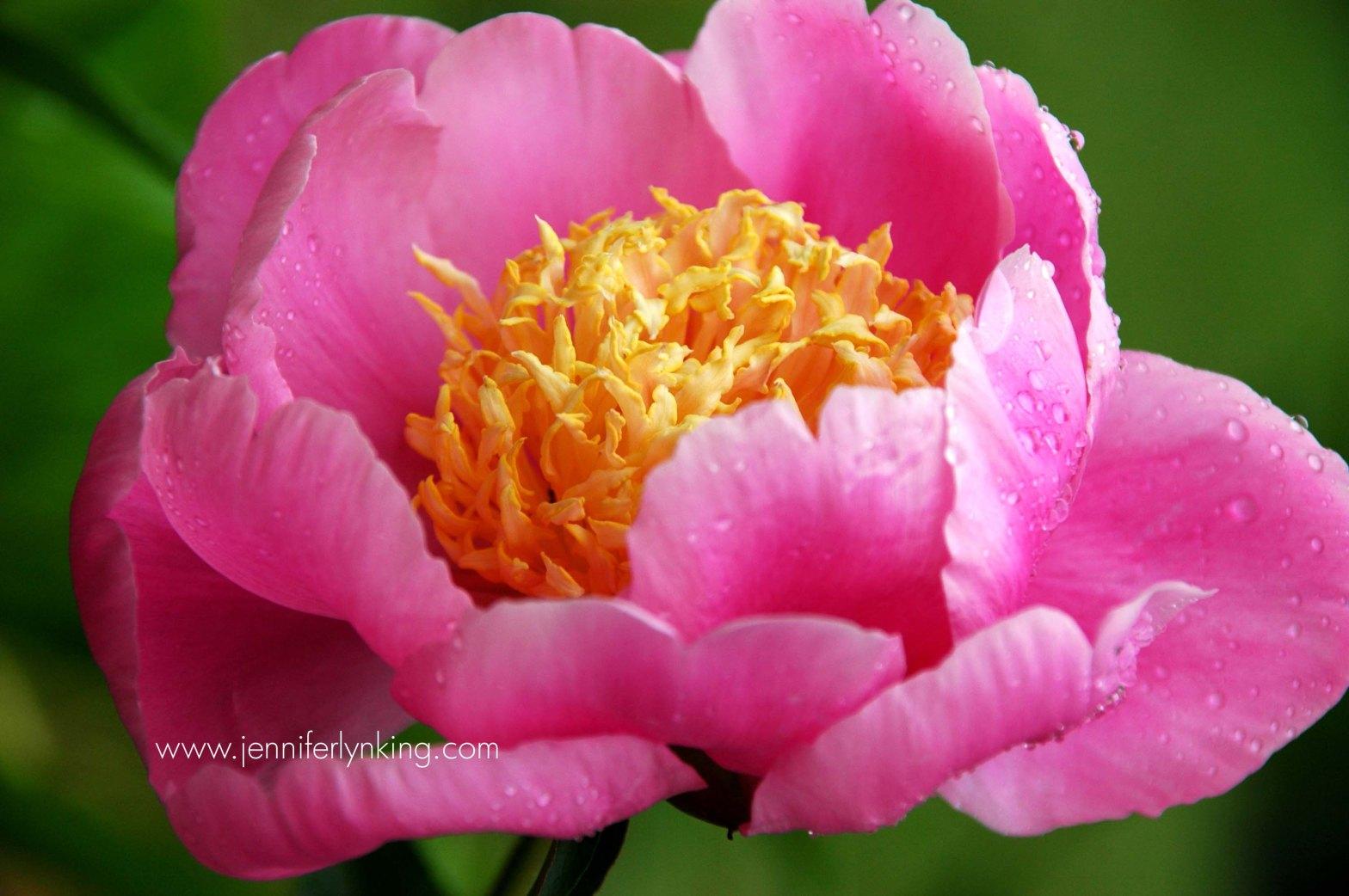 A peony blossom