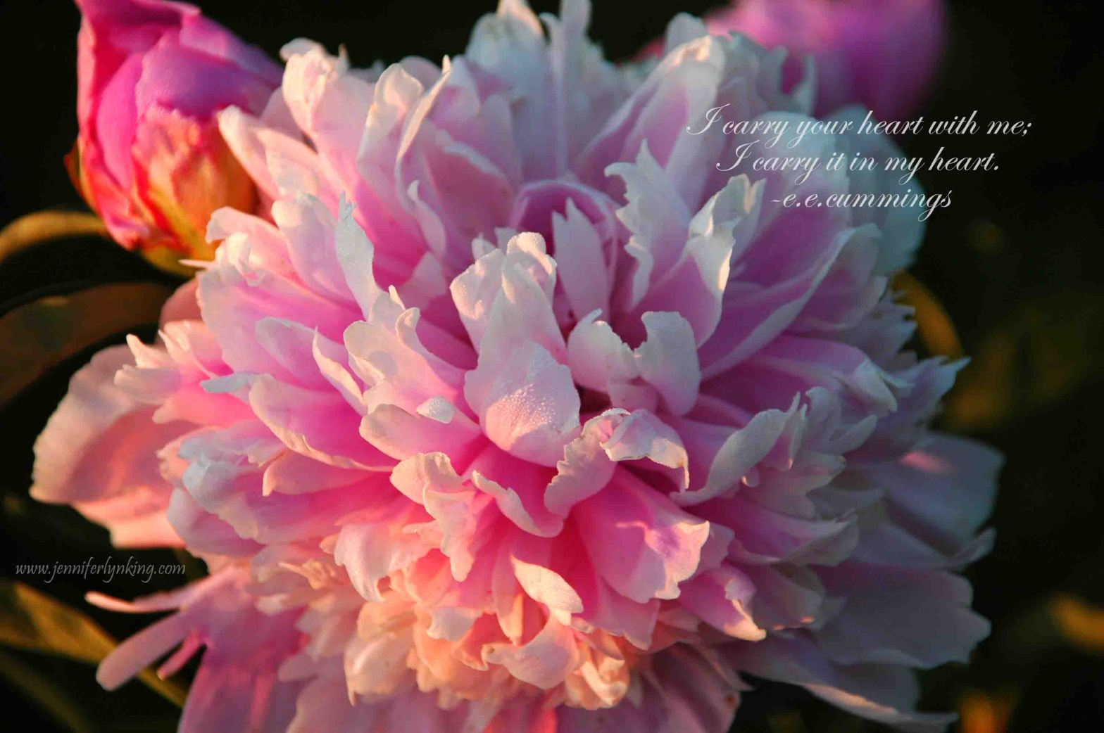 a Sorbet Peony, dew-kissed, at first light